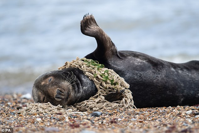 Two years ago, a seal was also found on Horsey Beach half-strangled by a sea net which had cut into its neck