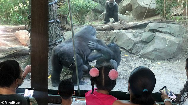 The unexpected incident triggered howls of laughter from families in the enclosure, many of whom had children with them