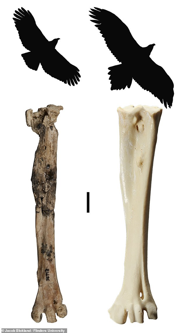 'This species was slightly smaller and leaner than the wedge-tailed eagle' [Australia's biggest eagle alive today], but it is the largest eagle known from this time period in Australia,' said paper author and paleontologist Ellen Mather from Flinders University.  Image: leg bone (tarsometatarsus) and silhouette of Archaehierax (left) and the wedge-tailed eagle (right)
