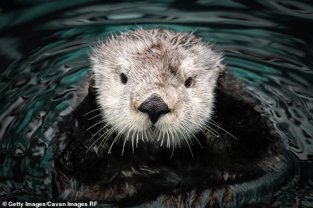 River otters are mysteriously attacking people and pets in Anchorage, Alaska