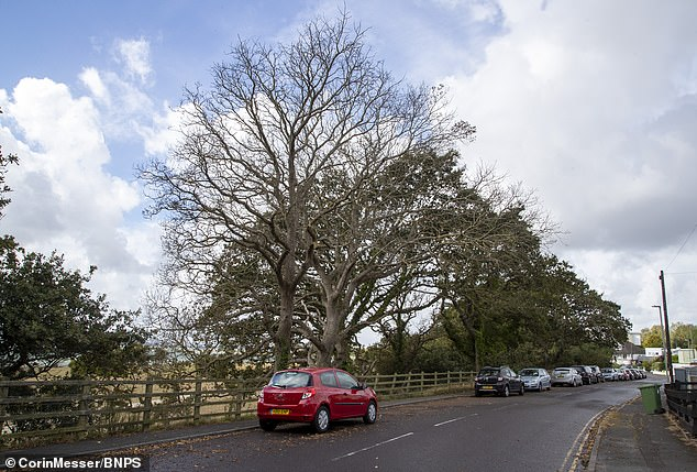 The two dead oak trees on Whitecliff Road in Poole, Dorset.Local councillor Ann Stribley said: 'People are outraged. This is vandalism of the worst kind and is totally selfish'