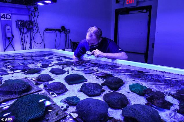 Biologists at the Florida Coral Rescue Center (pictured) are treating 18 species of coral -- more than 700 creatures -- by feeding them shrimp inside a tank that mimics their natural habitat