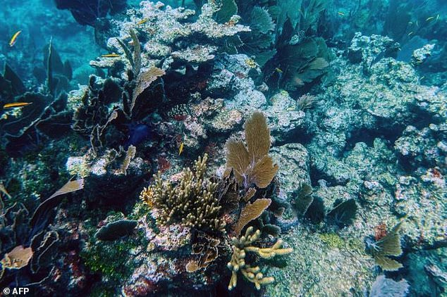 The coral suffers from SCTLD (Stony Coral Tissue Loss Disease), which first appeared off the southeast coast in 2014, but has since spread along the Florida Keys and into the Caribbean Sea.  infected with white coral disease