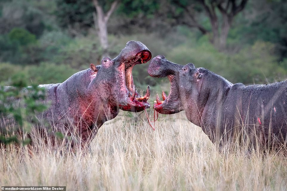 The intense images were shot by wildlife photographer Mike Dexter, 35, from Durban, South Africa, who took the photos from around 65-feet away, using a Canon 5D MK IV and a 100-400mm lens