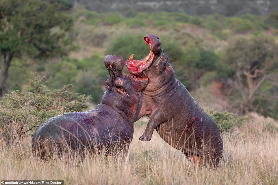 In one image, one hippo brutally impaled the other with his pointed tooth (pictured), as the fight neared its conclusion before one made a dash for the river where the fight continued