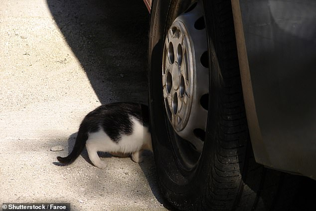Drivers on Jersey face being fined thousands of pounds if they run over a cat and don't stop after local politicians voted to change the law. Pictured: A cat walks under a car (stock image)