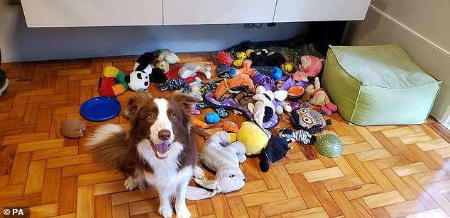 Gaia with her toys.  With the best coming forward as part of the 'Genius Dog Challenge' run by the researchers, the team found that not all dogs are capable of achieving this level of intelligence