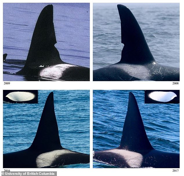 Whale watching: Scientists analyzed more than 100,000 photographs (pictured) taken off the west coasts of Canada and the US.  Of the 155 encounters from 2006 to 2019, most of the new killer whales were sighted in offshore waters between Oregon and central California.