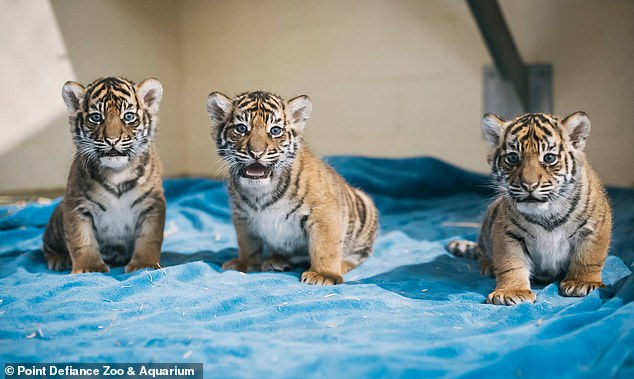 Kirana (left) and her brothers Dari and Inda were born in December 2014 at the zoo to 11-year-old mother Jaya.