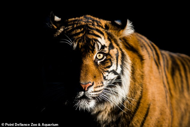 Grocers suffer 'fatal injuries' after zookeepers introduce them to potential mate Raja in an effort to increase endangered tiger numbers