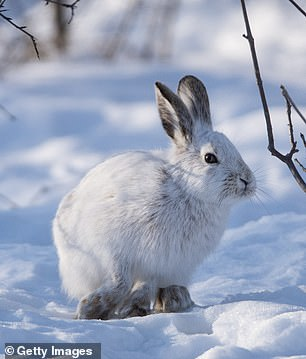 These North American hares turn white in the winter