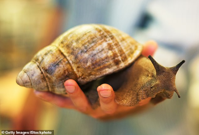 Florida announced Wednesday that it has eliminated the African giant land snail.  Since 2011, the state has collected more than 168,000 of the eight-inch-long snails