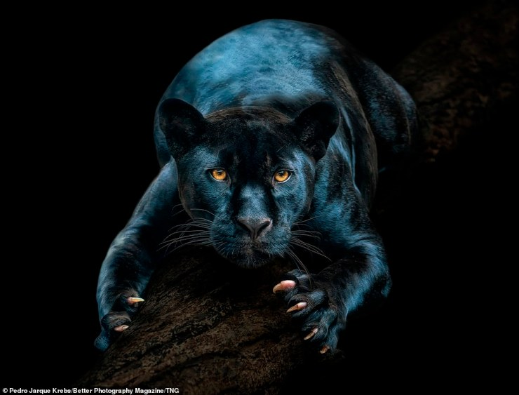 'Night Warrior' byPedro Jarque Krebs showingNaya, a female black jaguar who is part of the European Endangered Species Progamme (EEP) and lives in Tenerife, picked up the photographer another Gold Award in the Revealing Nature category