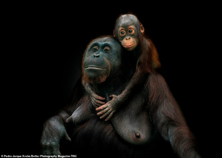 Pedro Jarque Krebs's breathtaking shot of two Bornean orang-utans cuddling lovingly is a masterclass in photography - and won the Revealing Nature Category