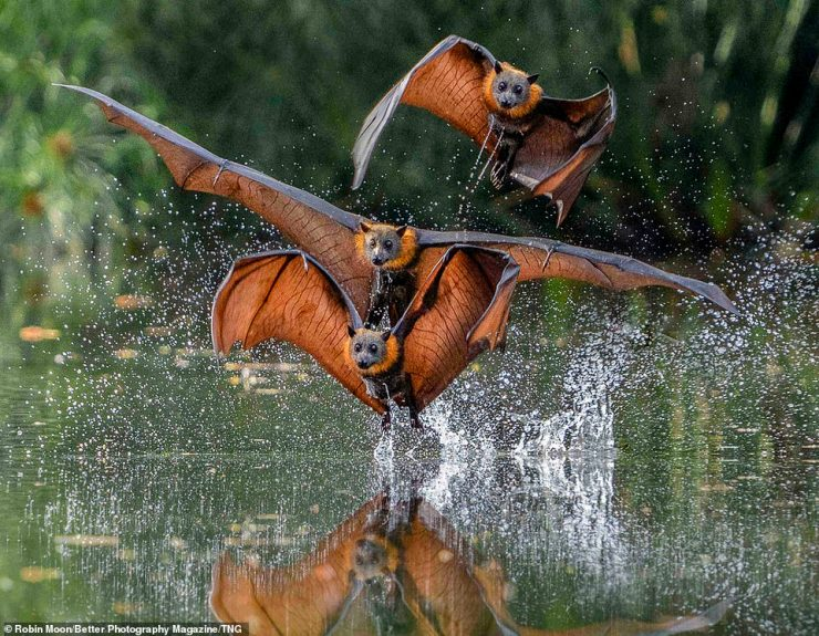 Australian snapper Robin Moon mesmerised the judges with her triple action capture of flying fruit bats acrobatically swooping about a lake in Sydney, Australia