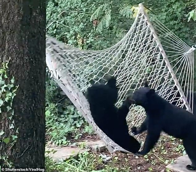 The jealous bear tries to take the hammock for their own and cruelly removes its lounging pal from the sling