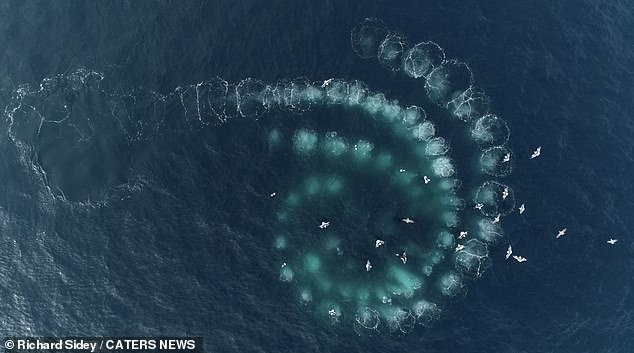 , Mesmerising footage shows humpback whales creating spiral-shaped 'bubble nets' to catch their food, The Today News USA