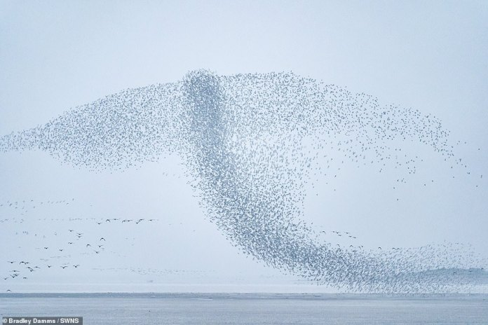 The flock makes its best impression of a large bird swooping through the air as part of its rumble at Snottysham, Norfolk