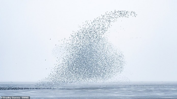 Viewers said that when the birds take off at the same time it makes a loud sound like 'a steam train is passing by'.