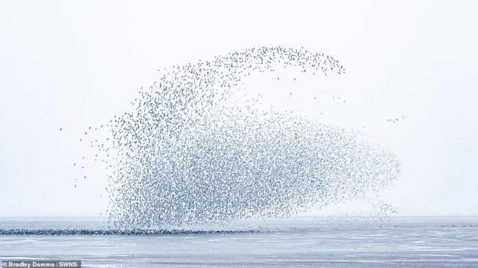 The murmurs often take on the striking shapes of other objects as the birds fly together in a large flock.