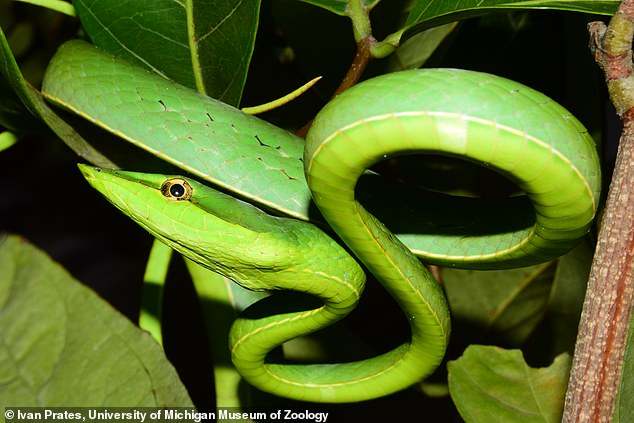 This rapid diversification led to the nearly 4,000 species we see today, according to experts from the University of California and University of Michigan. Pictured is a green vine snake