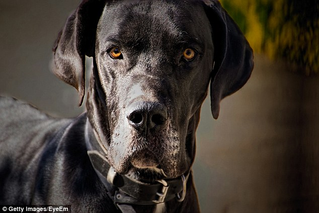 The Great Dane responsible for attacking Tom Higgins had escaped from its yard