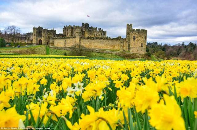 Sunshine highlights the sea of vivid yellow and blue gracing the lawns around Alnwick Castle, Northumberland, today