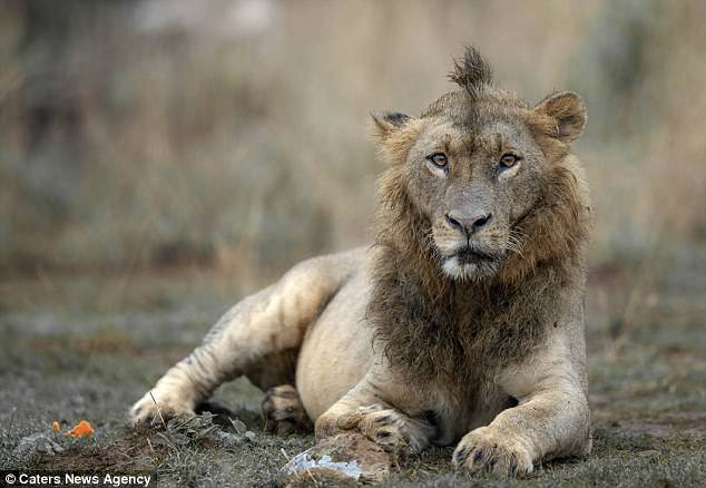 Lion Has Adopted Hipster Hairstyle In Nairobi National