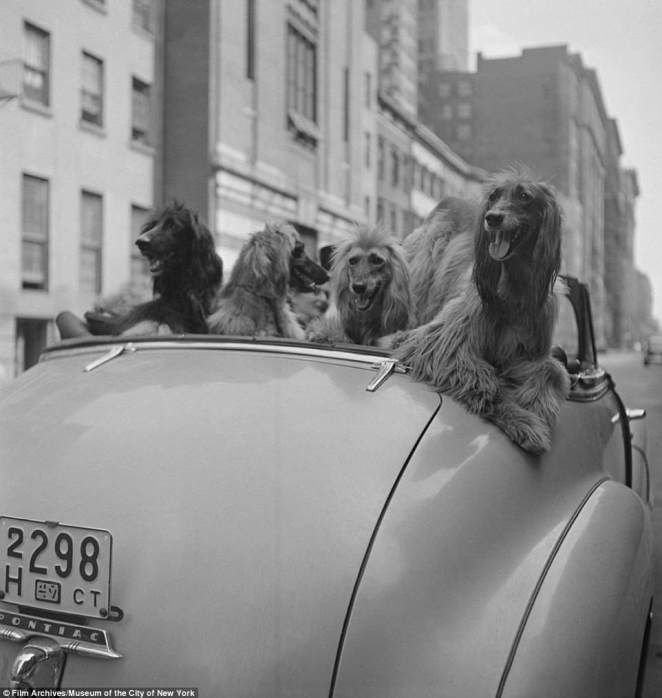 Before he became a director, Stanley Kubrick was capturing NYC life for Look Magazine, including that of well-coiffed city pups. His photo collection will be on display at the Museum of the City of New York