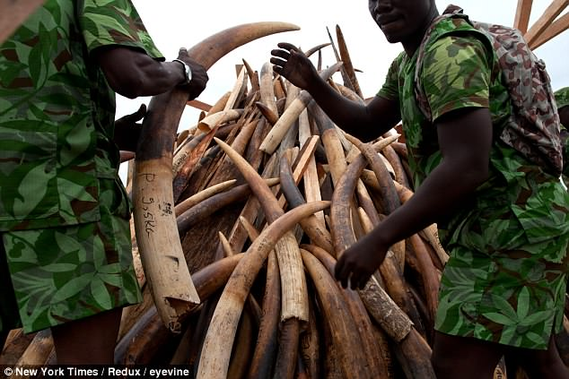 British soldiers have been training 'eco guards' and their managers at a camp in Lope National Park. Pictured: A pile of poached ivory is prepared for burning by the government to show their commitment to combat poaching