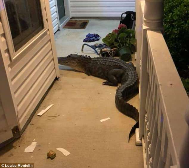The Monteith family of South Carolina woke up to an alligator banging on their front porch Monday morning around 4:45am