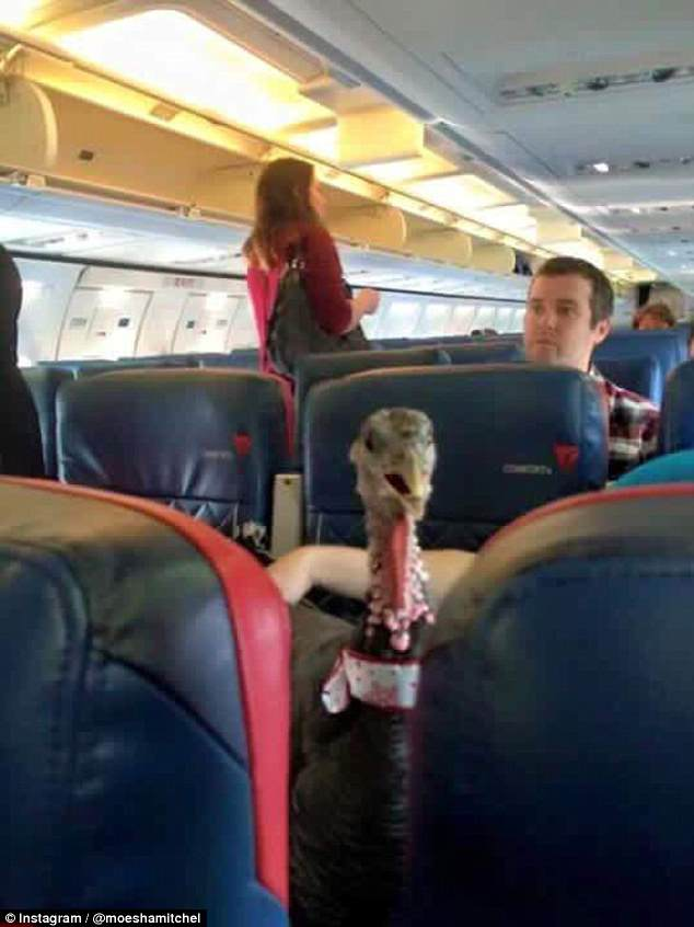 Ferrets, spiders, and non-household birds like chickens and hawks also won't be permitted to fly (pictured is a turkey service animal)