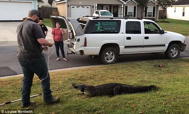Afterwards the gator was carried into the back of the vehicle, however it was killed afterwards