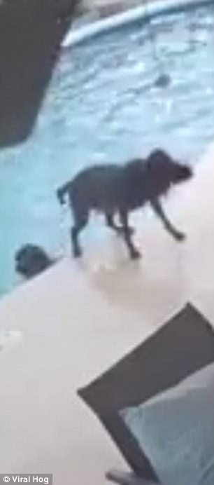 Smokey can be seen shaking off the water after climbing out the pool