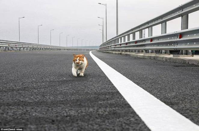 On the prowl: the famous Mostik checks out his turf ahead of the official opening of the £2.75 billion link.A rail crossing is due to be completed late next year