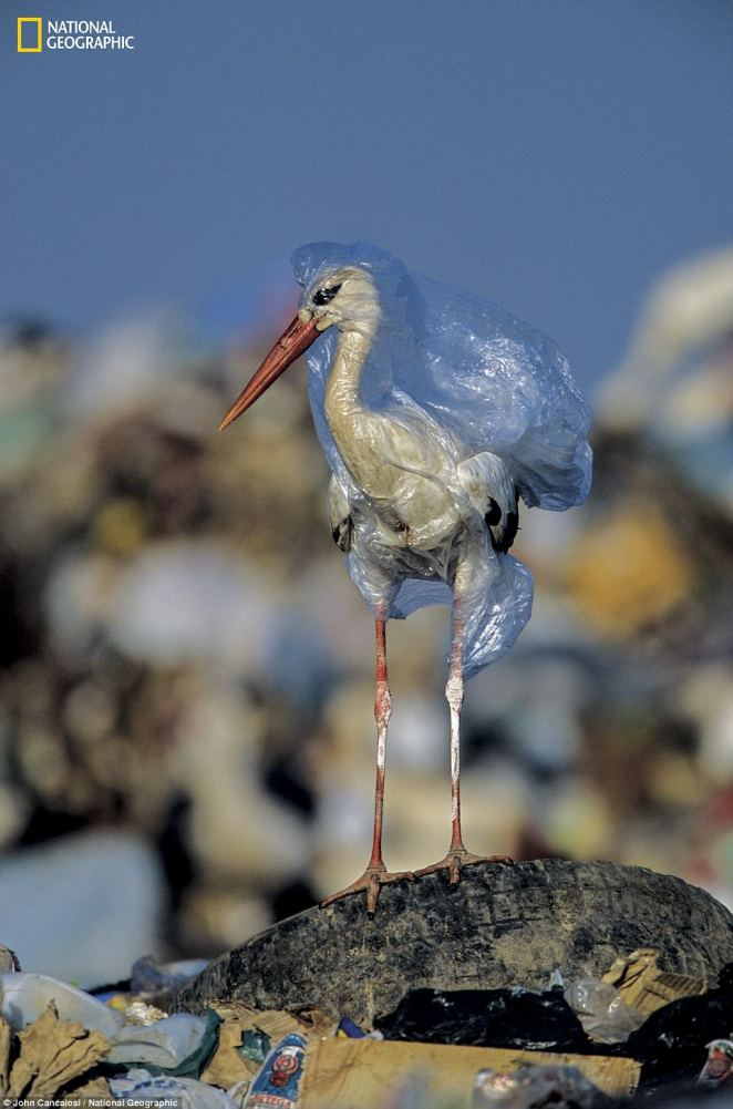 In the series of images released for National Geographic's Planet or Plastic campaign, ahead of its June issue, are several disturbing images from around the world. Here the photographer took it upon himself to free this stork from a plastic bag at a landfill in Spain, but bag can kill more than once: Carcasses decay, but plastic lasts and can choke or trap again