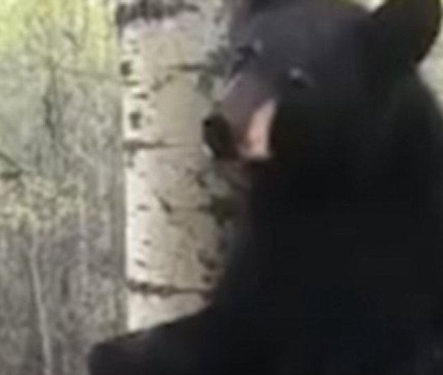 Video Hunter Experiences Close Encounter With Bear In Tree Stand Daily Mail Online