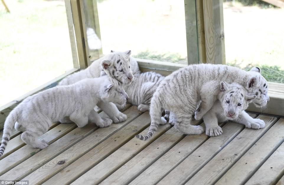 White Tiger Cubs Snow