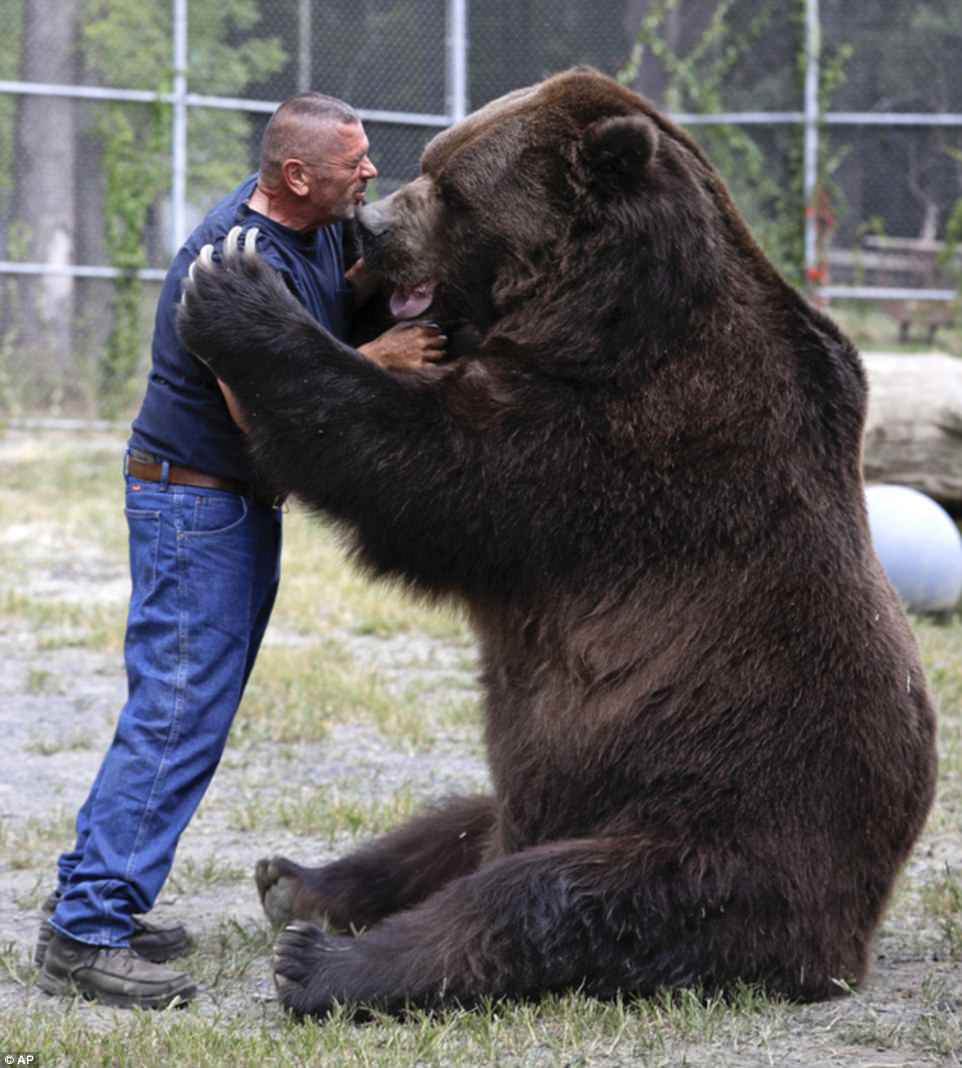 He is 9ft tall, weighs over  1,400lbs and can tear a man apart in minutes. But Jim Kowalczik has no fear as he larks about with the Kodiak bear he calls his 'son'. The former prison officer and his wife, Susan, have cared for Jimbo for more than 20 years, since he first came to the couple's upstate New York haven for injured or unwanted animals as a bottle-feeding cub