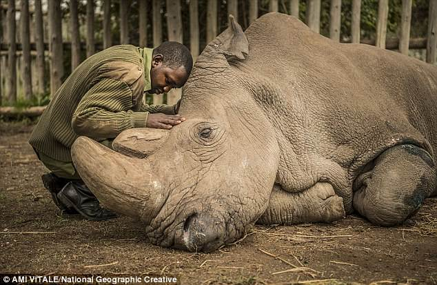 The world's last male northern white rhino, Sudan, died in Kenya at the age of 45 in March. For the first time researchers have successfully developed rhinoceros embryos to the blastocyst stage — potentially ready for implantation