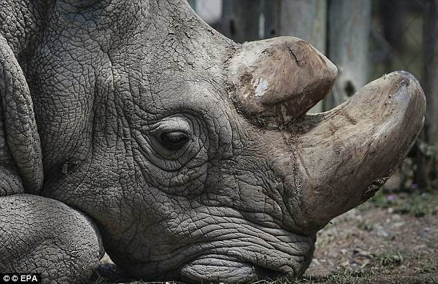 The 'much-hyped' plan for rhino in vitro fertilization is probably too late to save the northern white subspecies, according to Save the Rhino, a London-based group. Pictured is Sudan, the world's last male northern white, shortly before he died in March
