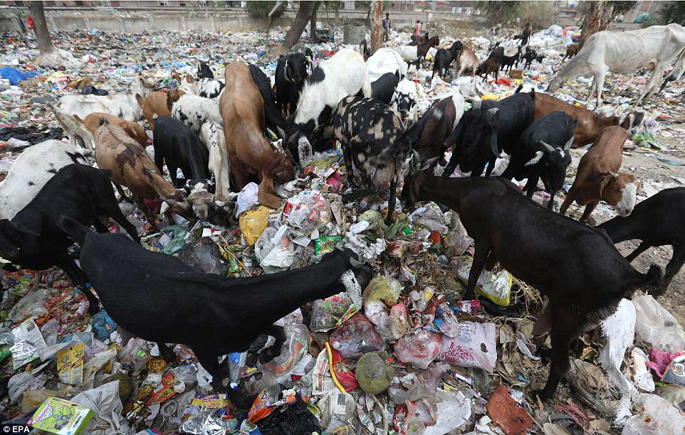 Stray dogs, goats and cows munch the plastic waste as toddlers run around trying to retrieve footballs and water bottles