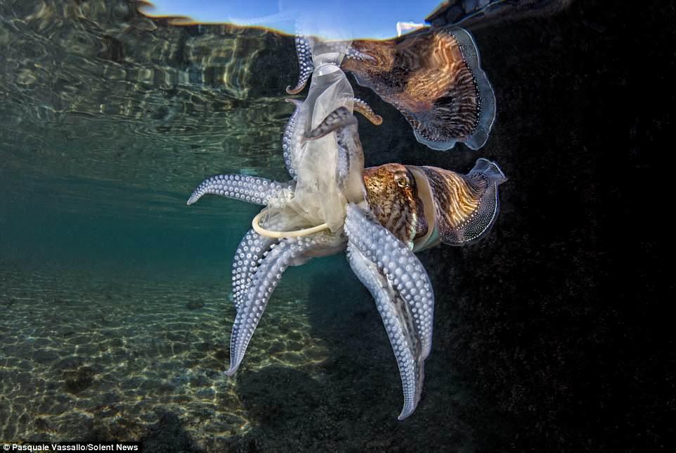 A photographer captured a cuttlefish dragging a discarded condom through the sea near the Italian port city of Naples