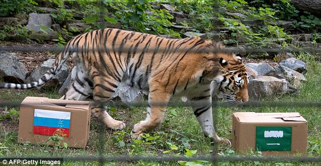 The Siberian Tiger Wolodja inspects boxes displaying the Russian and Saudi flags atthe animal park in Chemnitz, eastern Germany on Wednesday