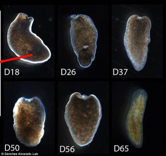 All organisms, including humans, have the ability to regenerate something. But the process is much more developed in many invertebrates such as earthworms and starfish. This image shows some of theplanarian flatworms scientists used in their experiments