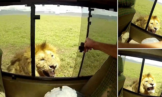 Image result for tourist tries to stroke lion south africa