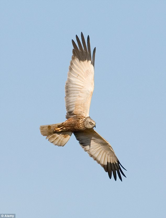 Marsh Harriers, a huge bird of prey nest on what could become the Cleve Hill Solar Park site