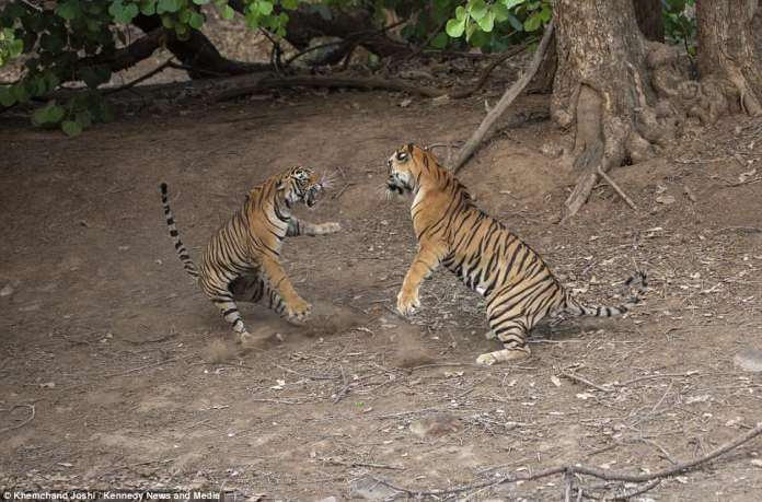 The photographer was able to capture the male and female involved in a vicious fight in a clearing in the jungle in India