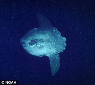 The team also happened upon a Mola mola, or ocean sunfish, for the first time of the 2018 expedition in the region.
