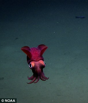 These cephalopods, known as bobtail squid, are not closely related to squids or cuttlefish, according to the NOAA